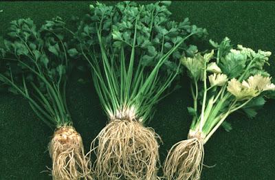 3 vị thuốc rẻ tiền từ rễ cây chữa bệnh thận