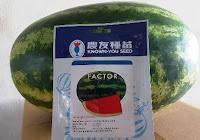 Benih, Semangka, Factor, Known You Seed, Taiwan, Lonjong, Berbiji, Hibrida, LMGA AGRO, Toko pertanian