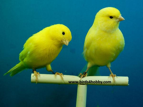 تصنيفات طائر الكناري canary birds