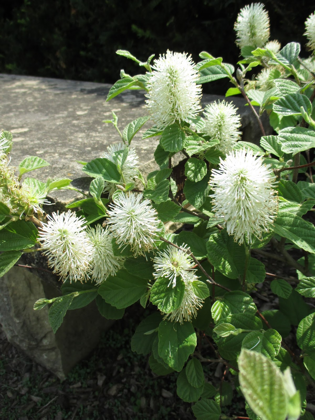 Witch Alders Fothergilla Rotary Botanical Gardens
