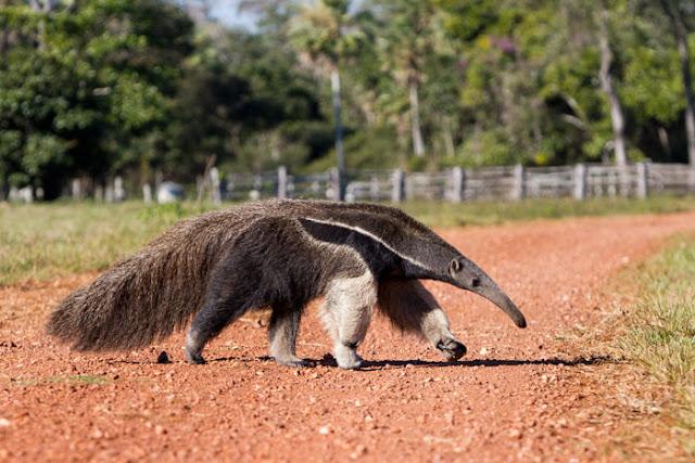 Anteater, Endentata