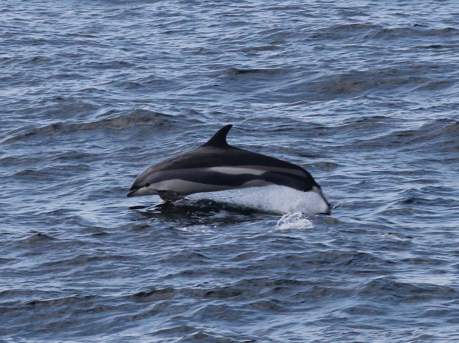 Atlantic White Sided Dolphin Tail