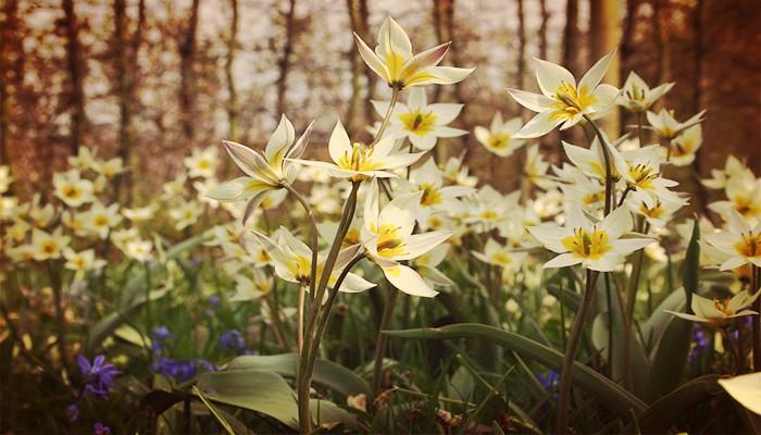 Los tulipanes Botánicos