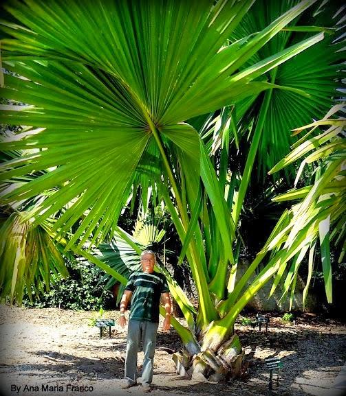 Plantarum  PALMEIRA-TALIPOT - ( Corypha umbraculifera L.)