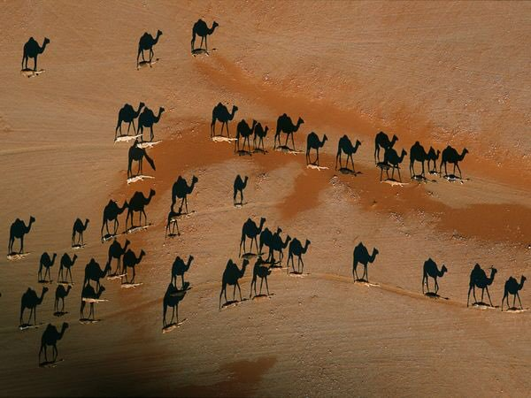 George Steinmetz #photography A herd of camels, western Oman
