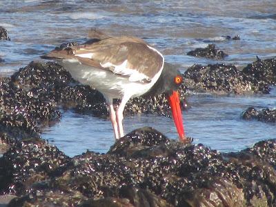 aves de las costas marinas argentinas