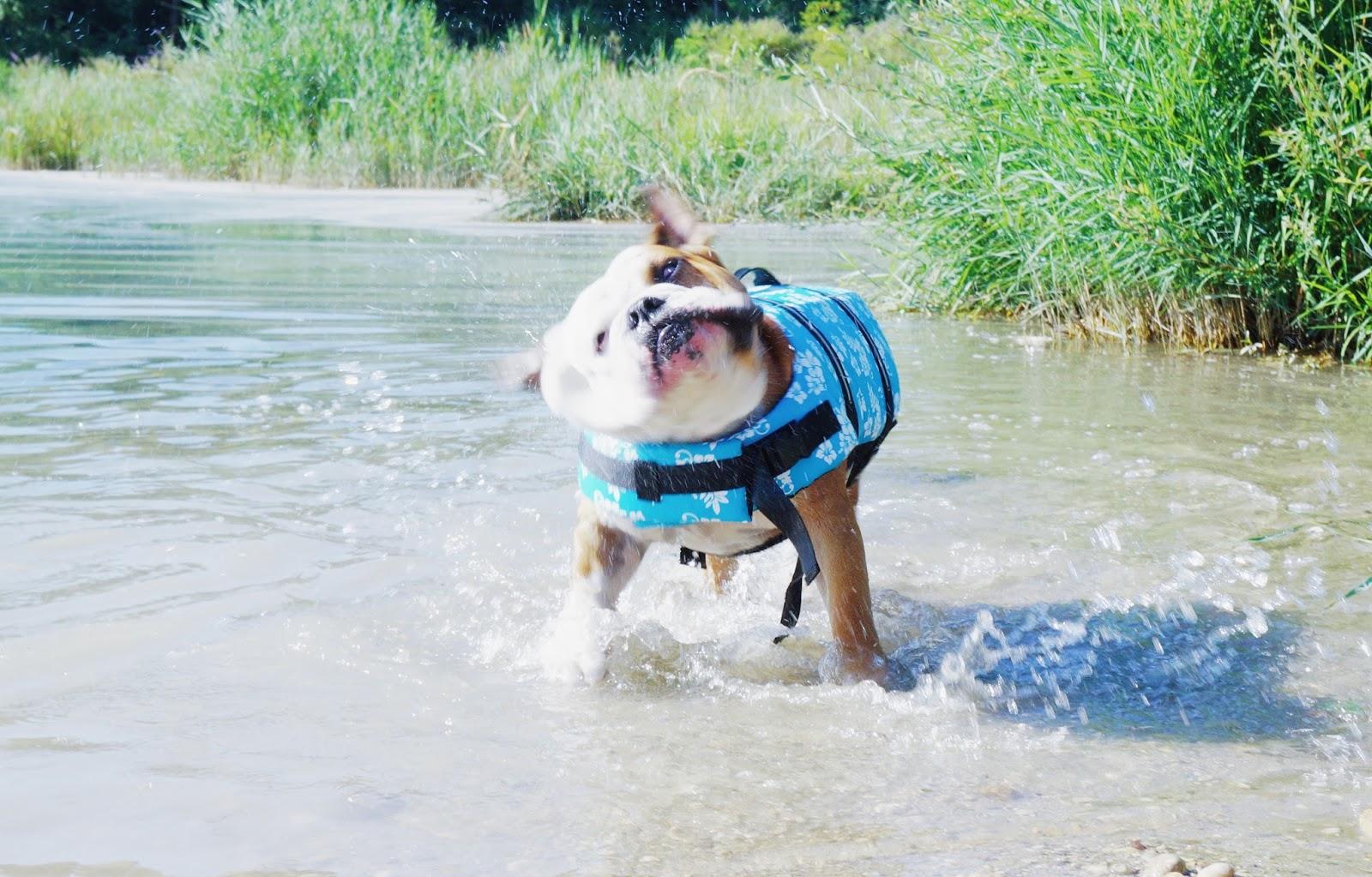 gilet de sauvetage pas cher chien bulldog