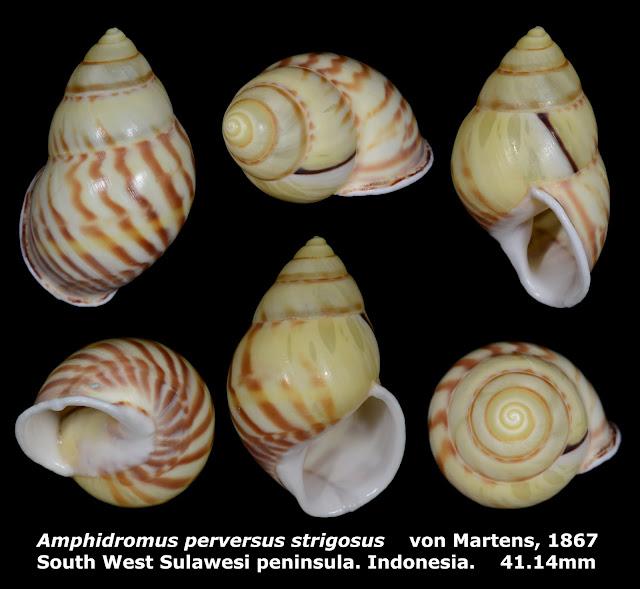 Amphidromus perversus strigosus 41.14mm