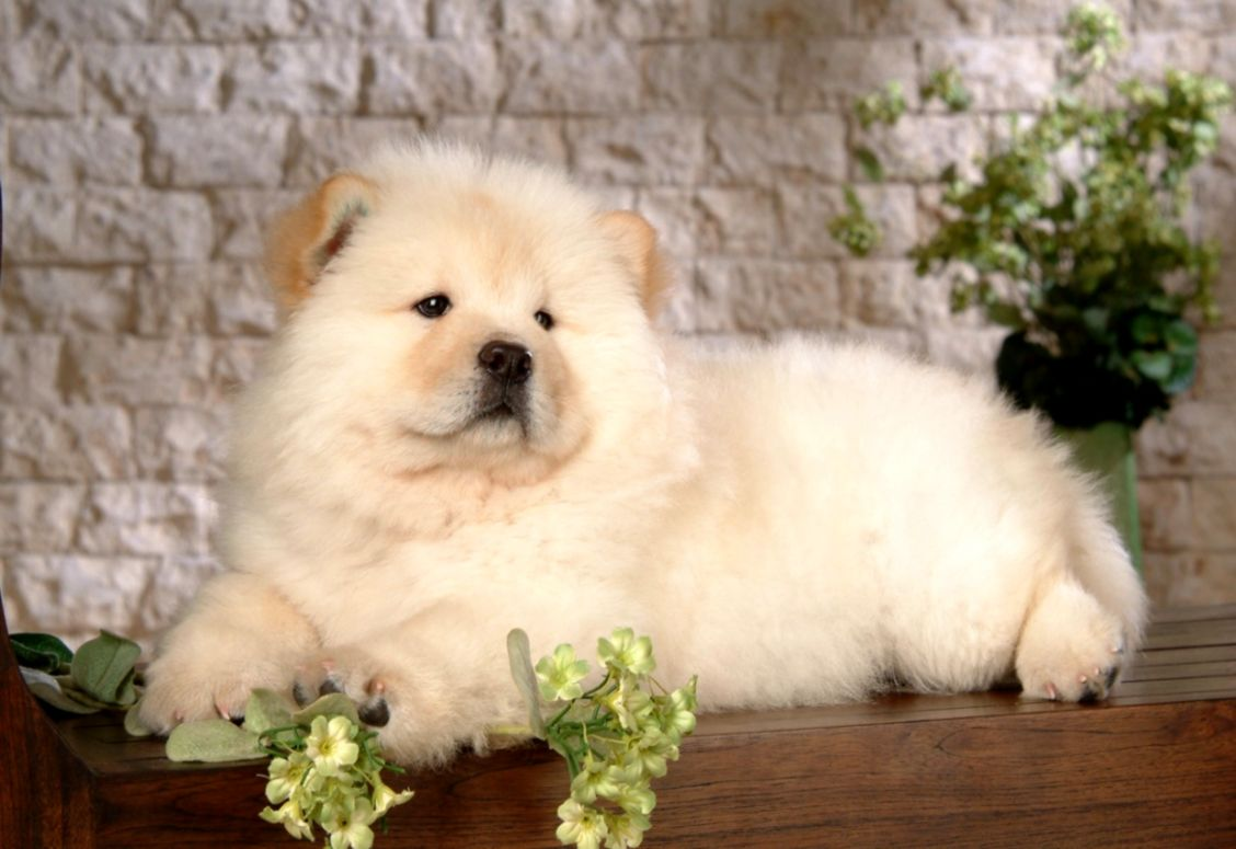 Chow Chow Puppies Widescreen Wallpapers Of High Resolution