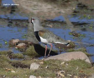 tero comun(Vanellus chilensis)