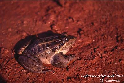 Rana criolla Leptodactylus ocellatus