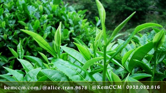 trà xanh - kemccm