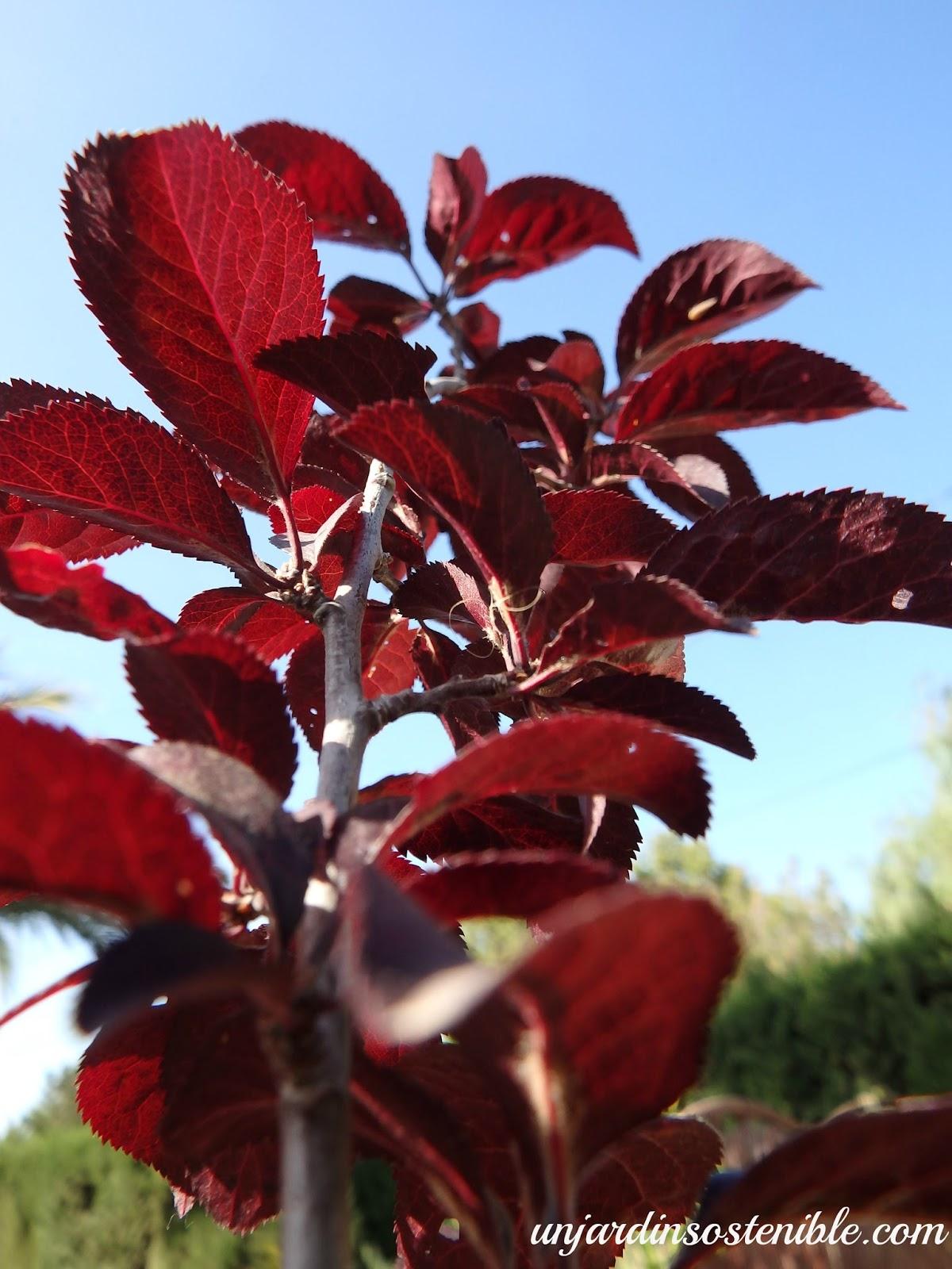 Prunus cerasifera variedad for Como podar un ciruelo de jardin