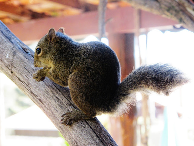 Esquilo, em Monte Verde