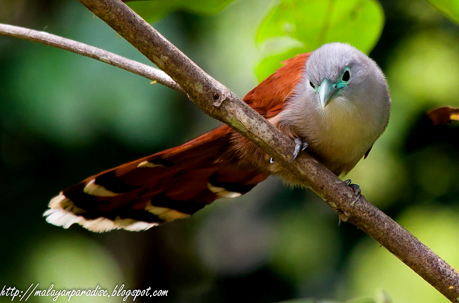 black-and-rufous-flycatcher