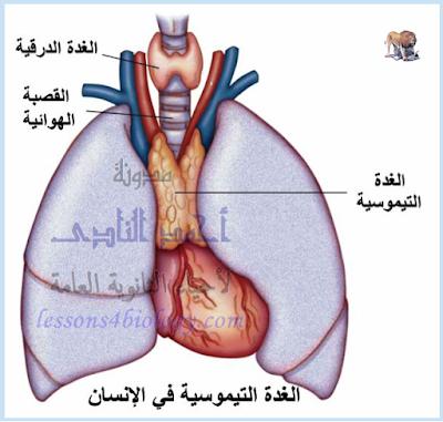 الجهاز المناعى - تركيب - أهم الأعضاء الليمفاوية - الغدة التيموسية