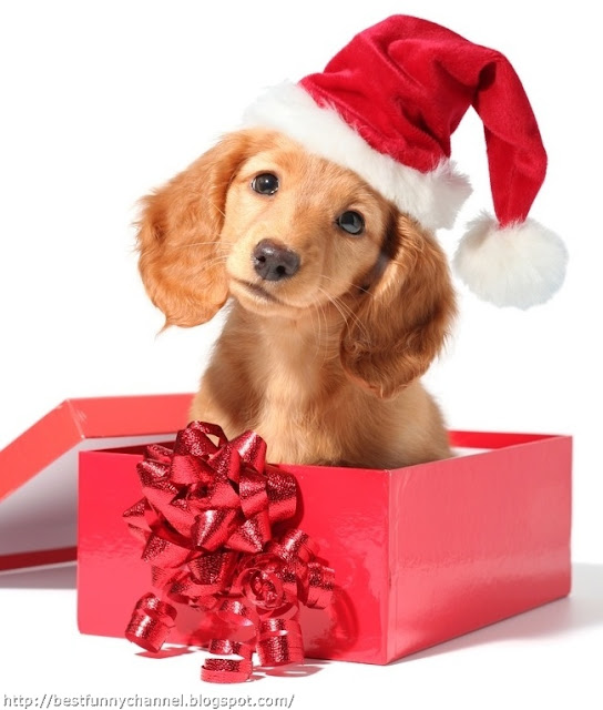 Puppy in Christmas box.