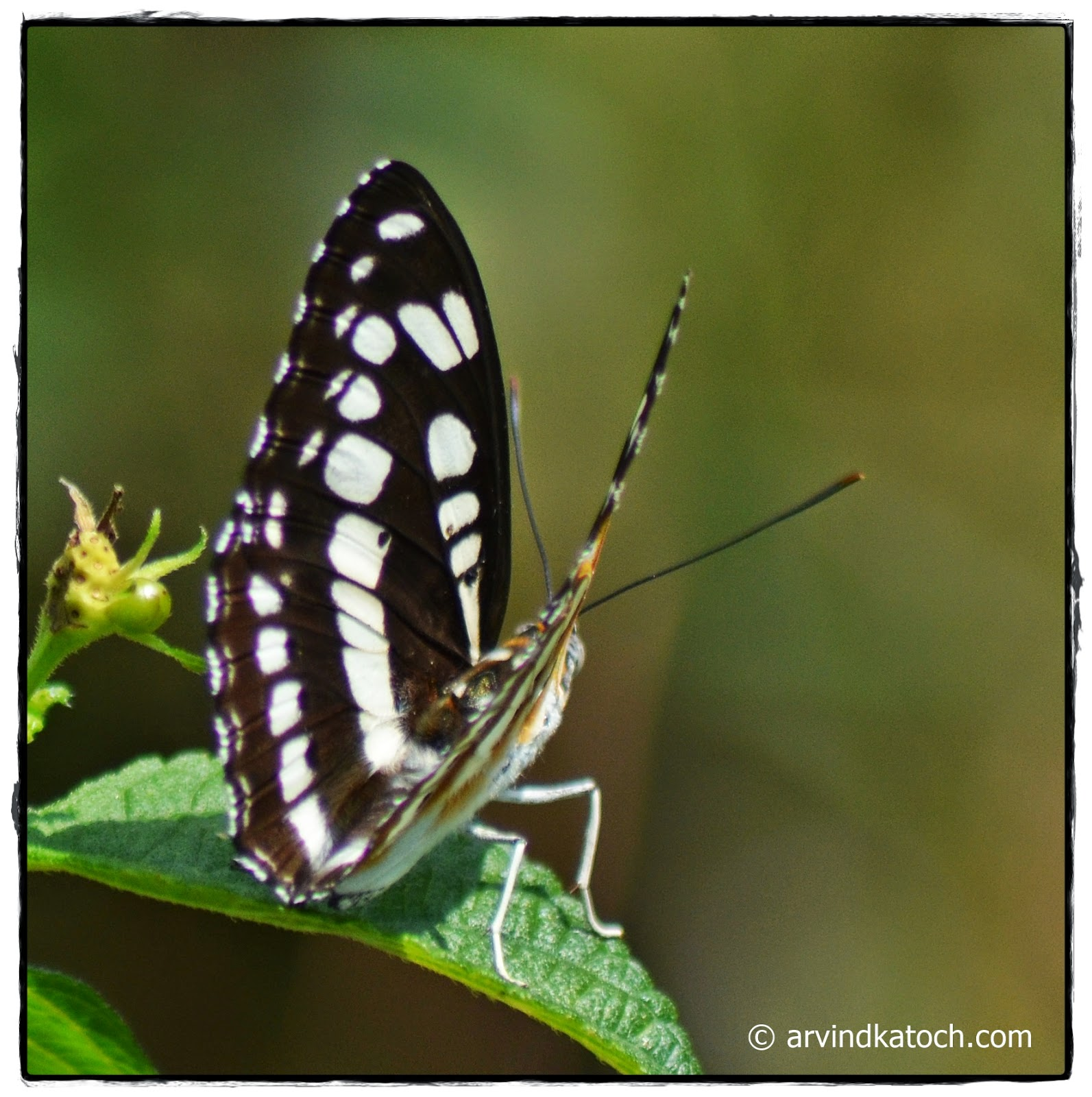 Butterfly, white dots, Lantana leaf,