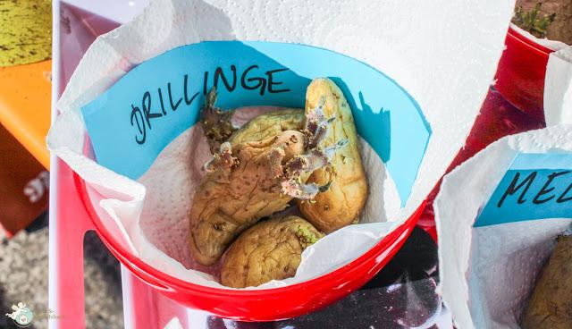urban gardening: Kartoffelanbau auf dem Balkon