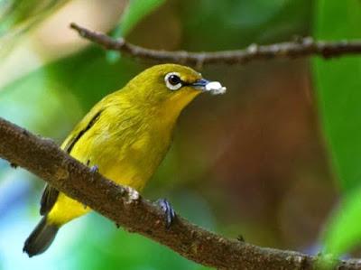 Harga Burung Pleci Area Pacitan (jual/Beli)