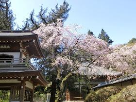 浄智寺の枝垂れ桜