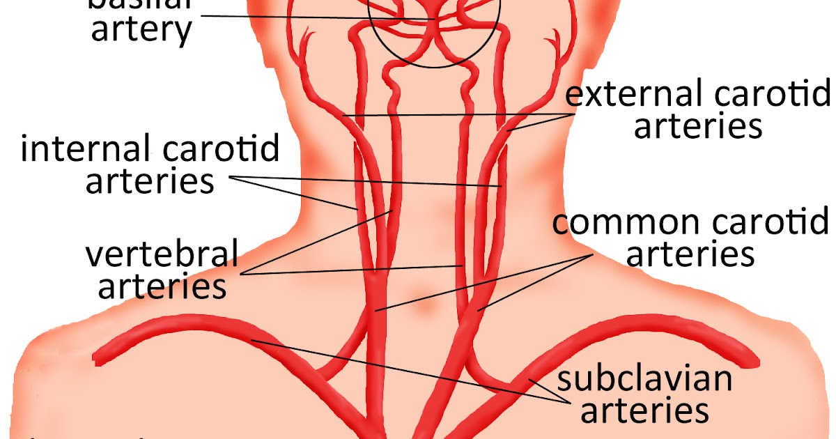 Arteries In The Neck Diagram Basic Guide Wiring Diagram