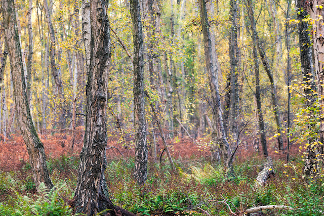 Reds, yellows and greens at Holme Fen in this spectacular autumn woodland