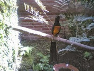 "Habitat Dan Kebiasaan Burung Murai Batu  Burung Murai Batu dari Tanjung Redap, Kalimantan Timur mempunyai keunikan di bagian kepalanya yang bergaris putih memanjang ke belakang. Burung Murai Kalimmantan memiliki ekor lebih pendek dengan panjang sekitar 8-12cm, Sementara Burung Murai Batu Sumatra memiliki panjang ekor lebih panjang sekitar 15-20cm. Ciri khas lain adalah Murai Batu Kalimantan apabila berhadapan dengan jenisnya akan mengelembungkan buu-bulu di sekitar dadanya sambil berkicau. Sedangkan Jenis Burung Murai Batu Lainya Tidak Seperti itu meraka berkicau dengan gaya yang elok dengan menegakkan tubuhnya. Sehingga terlihat sangat Menawan.     Burung murai batu cenderung memilih hutan sekunder atau hutan alam yang rapat sebagai habitatnya. Burung murai batu merupakan kelompok burung yang dikenal sebagai teritorial dan sangat kuat dalam mempertahankan wilayahnya (Thruses). Jenis teritorinya tempat untuk bersarang, perkawinan dan tempat mencari makan (nesting, mating dan feding territor – Welty, 1982). Burung ini memiliki daya tarik yang tinggi untuk dipelihara karena memiliki suara kicau yang bagus (The Best Song Birds – Delacour, 1947). Burung murai batu merupakan kelompok burung yang digemari karena memiliki suara dengan spesifikasi ""kicauan"". Perburuan liar yang terjadi secara besar-besaran, degradasi hutan, hingga konversi hutan menyebabkan populasi burung ini terus berkurang, termasuk murai batu yang hidupdi hutan dataran rendah di pulau Jawa. Penyebaran burung Murai Batu di Pulau Jawa saat ini hanya terbatas di beberapa tempat yang berhutan, misalnya di tempat-tempat konservasi seperti di Cagar Alam Leuweung Sancang, Taman Nasional Baluran, Taman Nasional Ujung Kulon, Cagar Alam dan Hutan Wisata Pananjung Pangandaran, dan Taman Nasional Meru Betiri. Konservasi keanekaragaman hayati yang menggunakan strategi save it, studi it, dan use it memiliki hubungan dengan konservasi burung Murai Batu. Save it merupakan alokasi kawasan hutan sebagai cagar alam. Sedan"