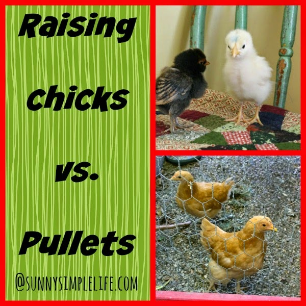 raising baby chicks vs. pullets