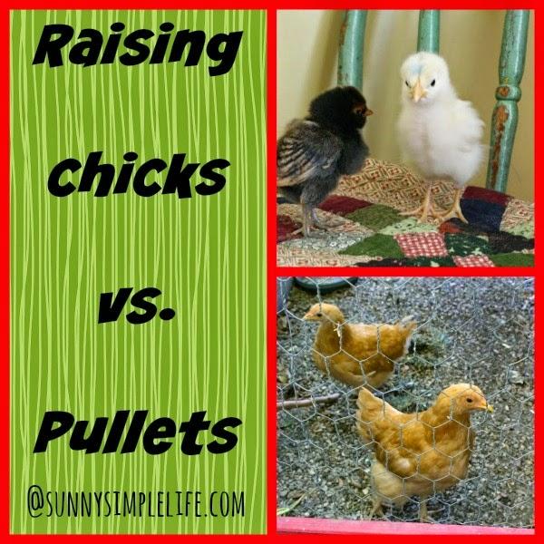 Rasing chicks