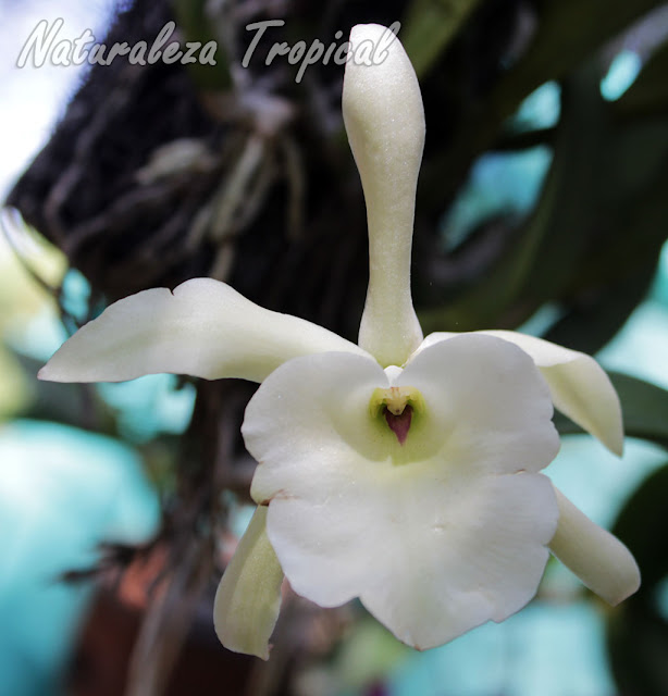 Flor de la orquídea Rhyncholaelia glauca (antes Brassavola glauca)