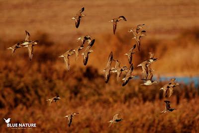 Aunque estuvieron muy esquivos, pudimos ver a estos combatientes (Philomachus pugnax) cuando uno de los laguneros hizo que salieran volando.