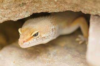 Cara Membuat Kandang Gecko