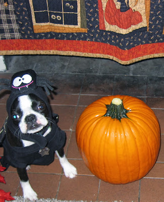 Sinead the Boston terrier and her pumpkin