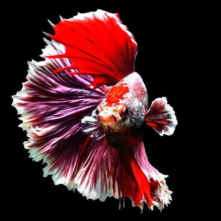 Betta Fish Wallpaper For Android - Ikan Cupang Hias Koi ...