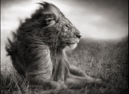Tisotit Majestic Lion Wallpaper