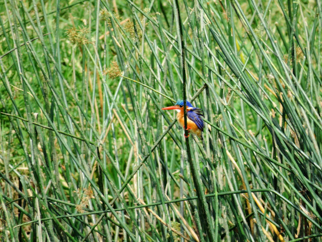 Malachite kingfisher in the reeds on the Kazinga Channel in Uganda