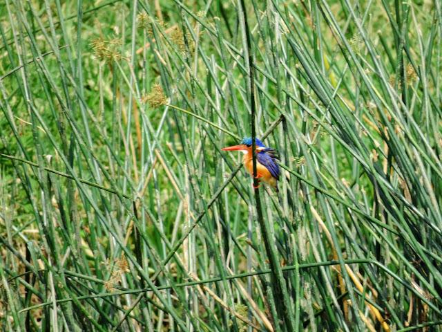 Malachite kingfisher in the reeds on the Kazinga Channel in Uganda