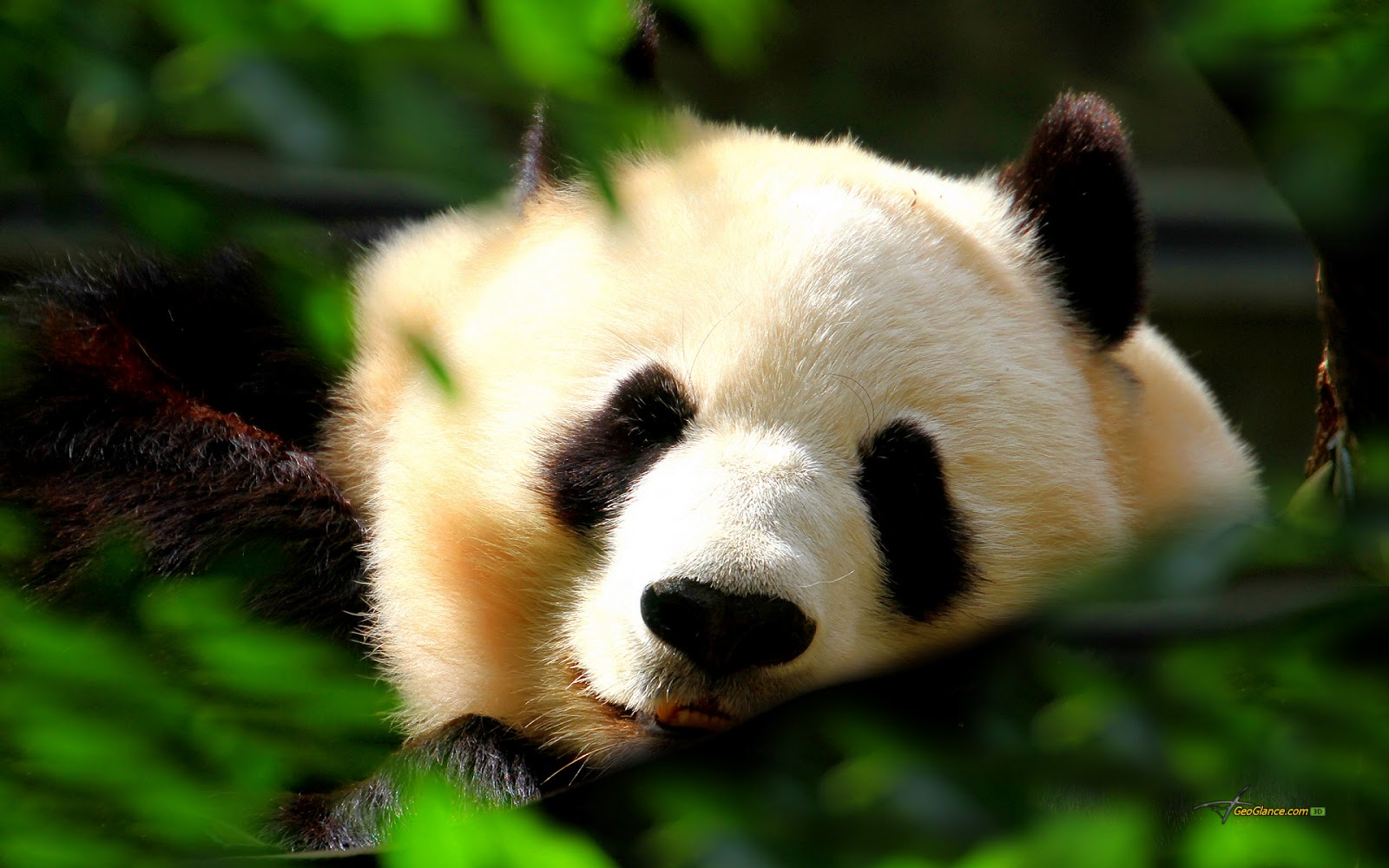 Beautiful Wallpapers: panda bear wallpaper
