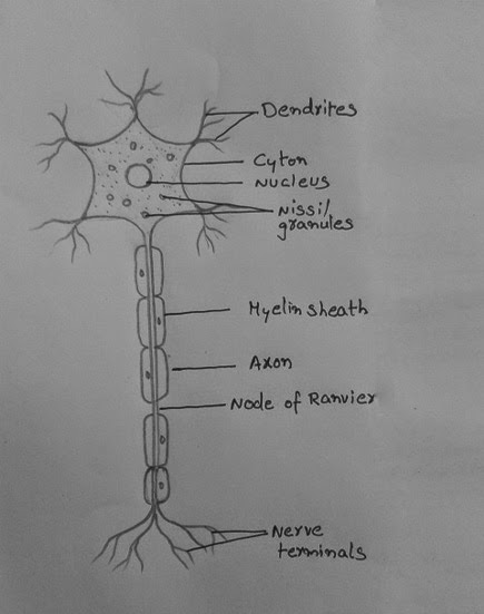 Labelled Diagram Of Nerve Cell Bmw Mini Cooper Wiring Draw It Neat How To A Neuron Skill Them Like Roots Plant