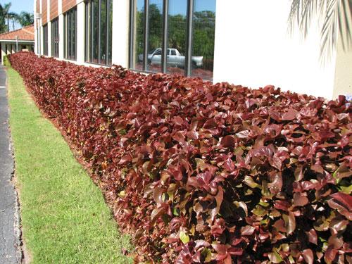 Gardening South Florida Style South Florida Hedge Plants Vi