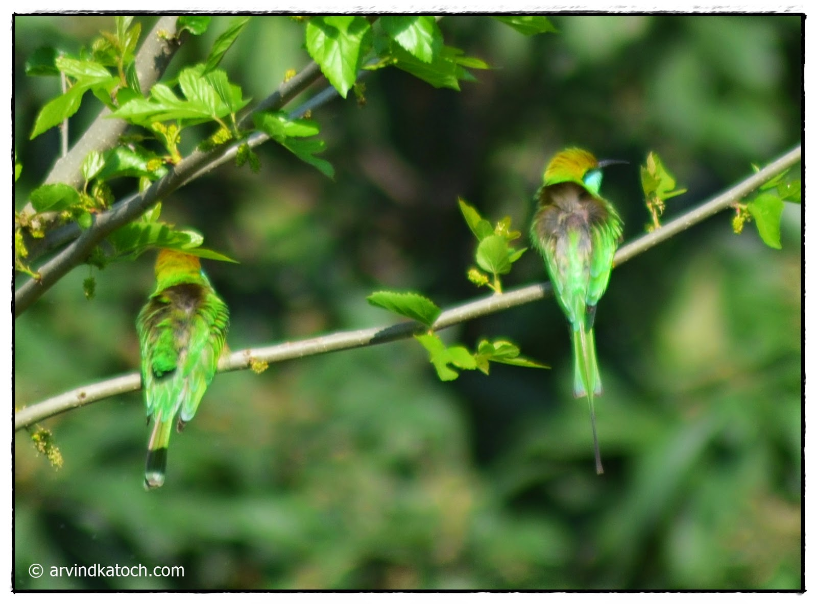 Bee-eater birds, Green Bee-eater Pair,