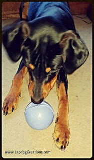 Penny playing with her Monster Ball from #JollyPets which was inside her latest #BullymakeBox  Save $6 off any plan with coupon code LapdogCreations2016 #LapdogCreations