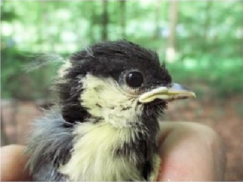 Urban bird species risk dying prematurely due to stress