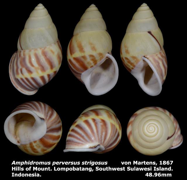 Amphidromus perversus strigosus 48.96mm