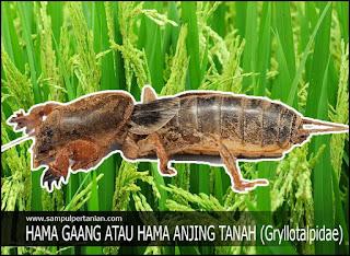 Hama Gaang atau Anjing tanah atau Orong-orong (Gryllotalpa brachyptera)