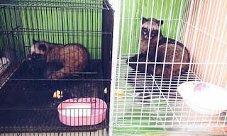Cara Ternak Musang Luwak atau Peliharaan bagi Pemula