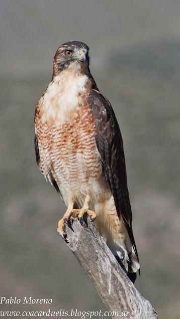 """alt=""""aguilucho comun,Geranoaetus polyosoma,aves de Mendoza,rapaz de Mendoza"""""""