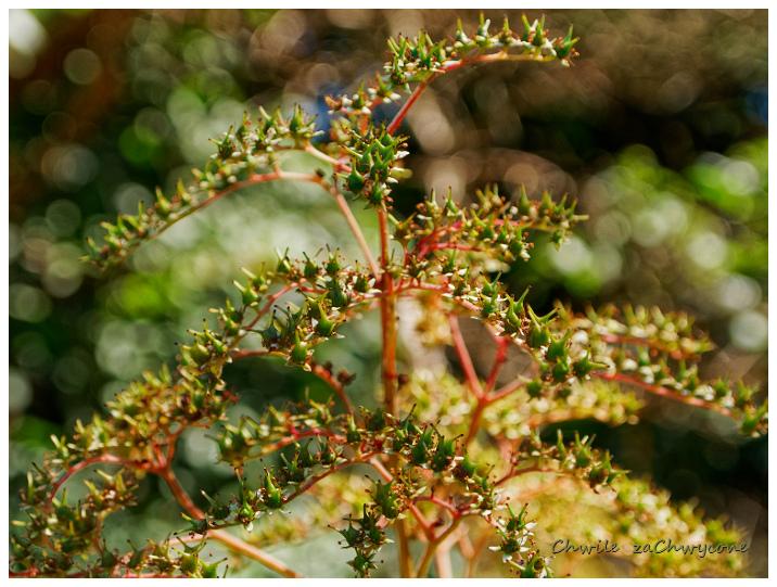 rodgersja stopowcolistna, rodgersja japońska, Rodgersia podophylla owoce