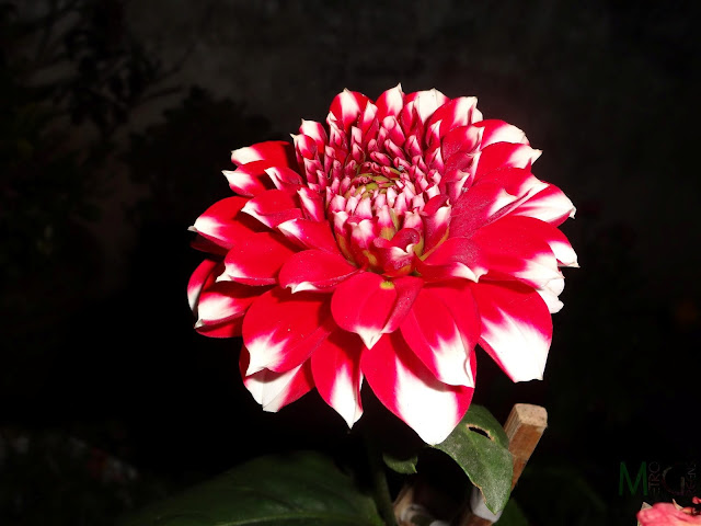Metro Greens: Red Dahlia Bloom